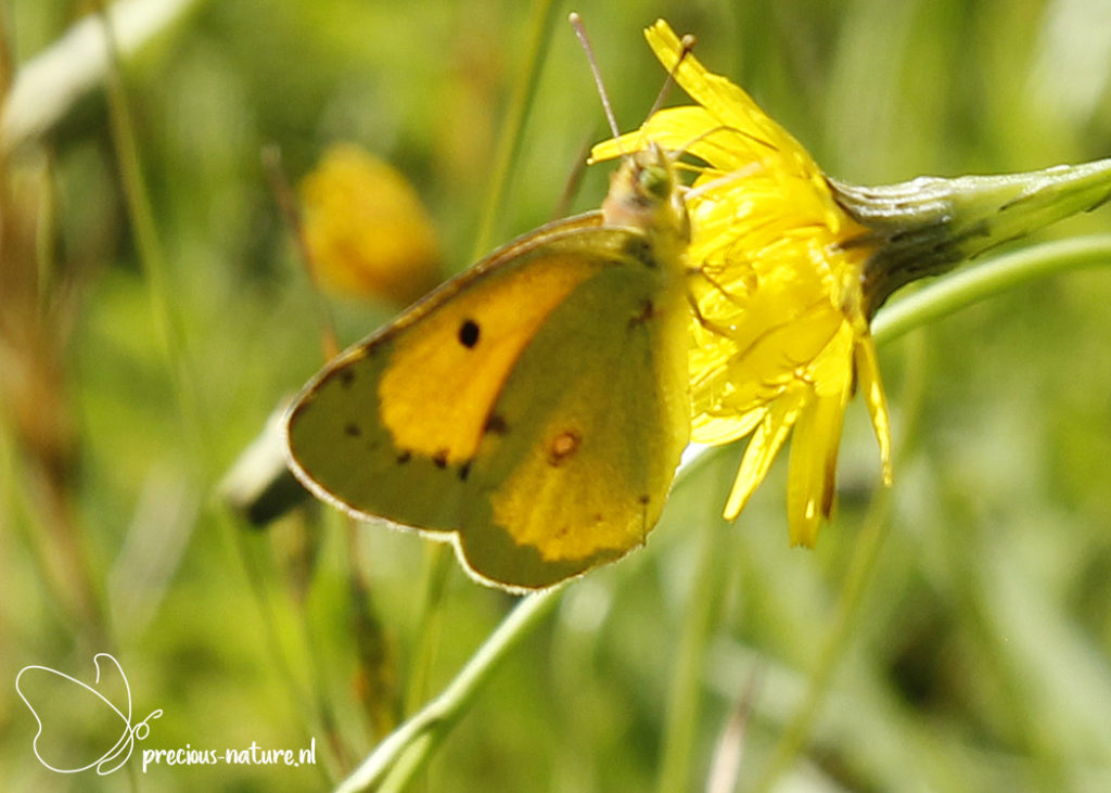 Clouded Yellow - 2020