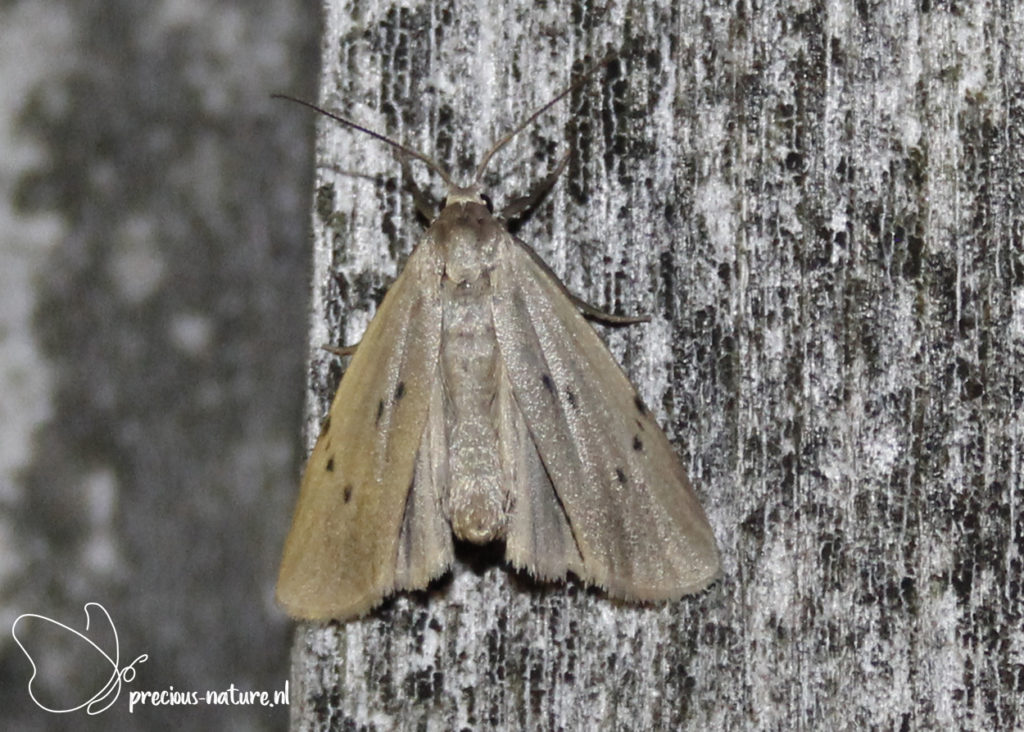 Dotted Footman - 2020
