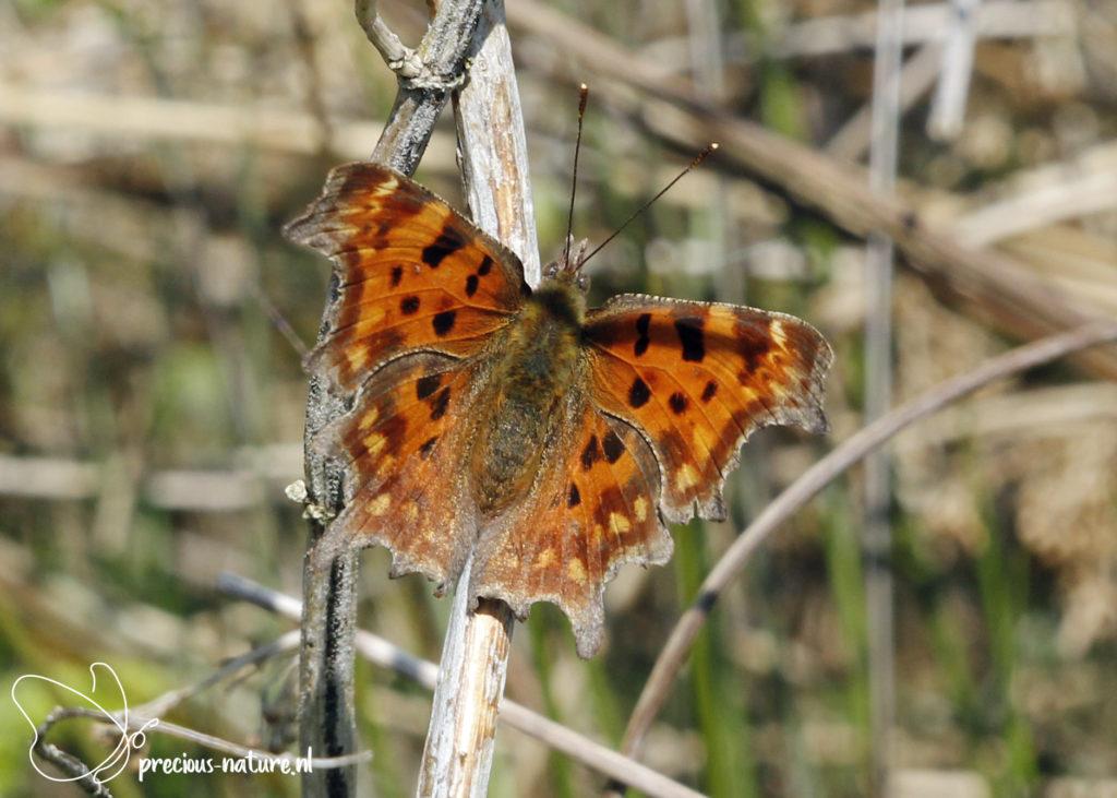 Comma Butterfly - 2021