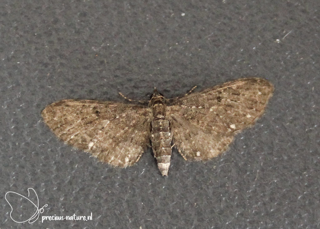White-spotted Pug - 2021