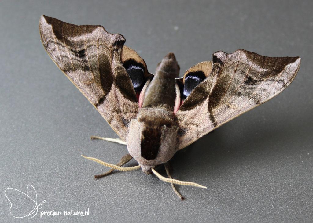 Eyed Hawk-moth - 2021