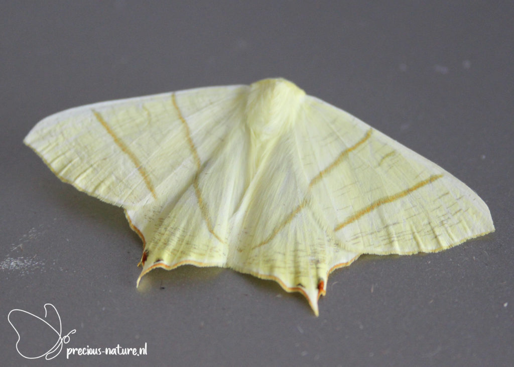 Swallow-tailed Moth - 2021