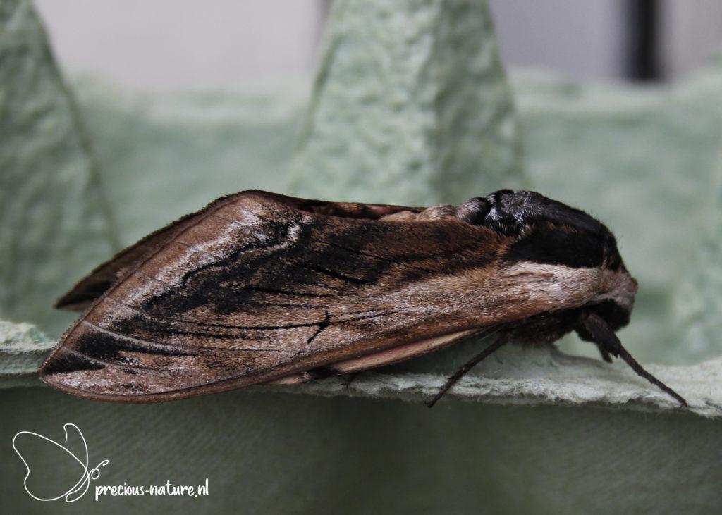 Privet Hawk-moth - 2021