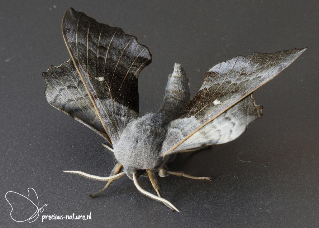 Poplar Hawk-moth - 2021