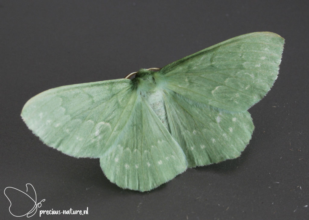 Large Emerald - 2021