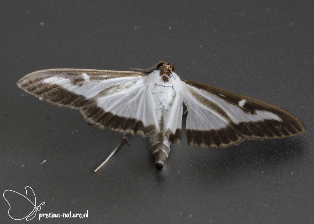 Box-tree Moth - 2021