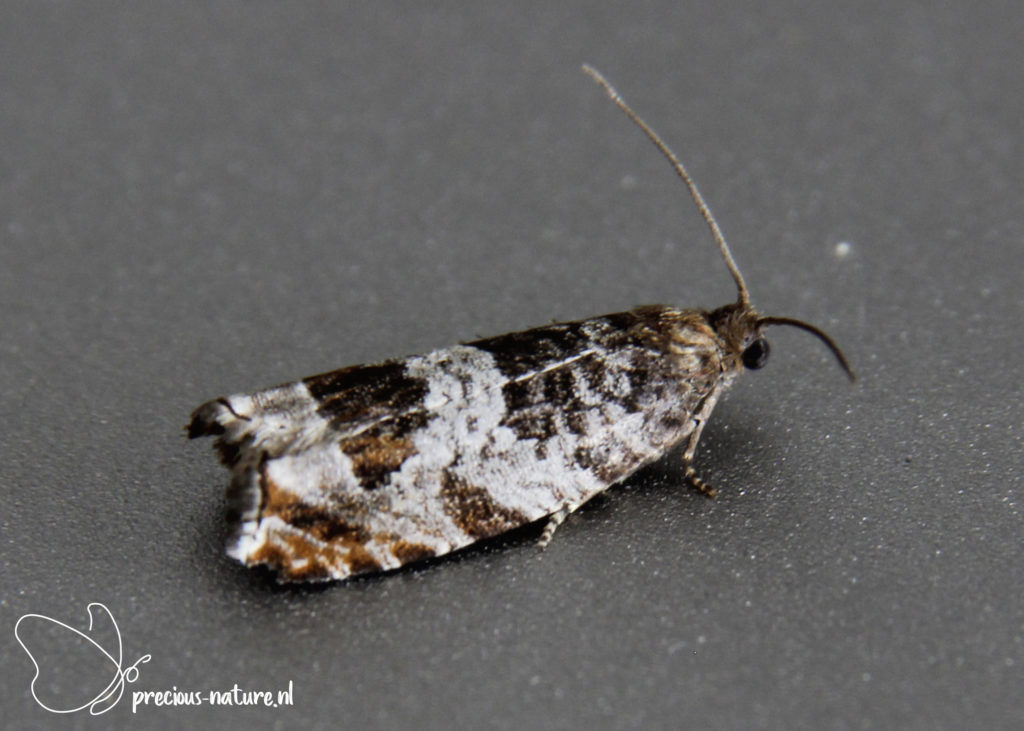 Triangle-marked Tortrix - 2021