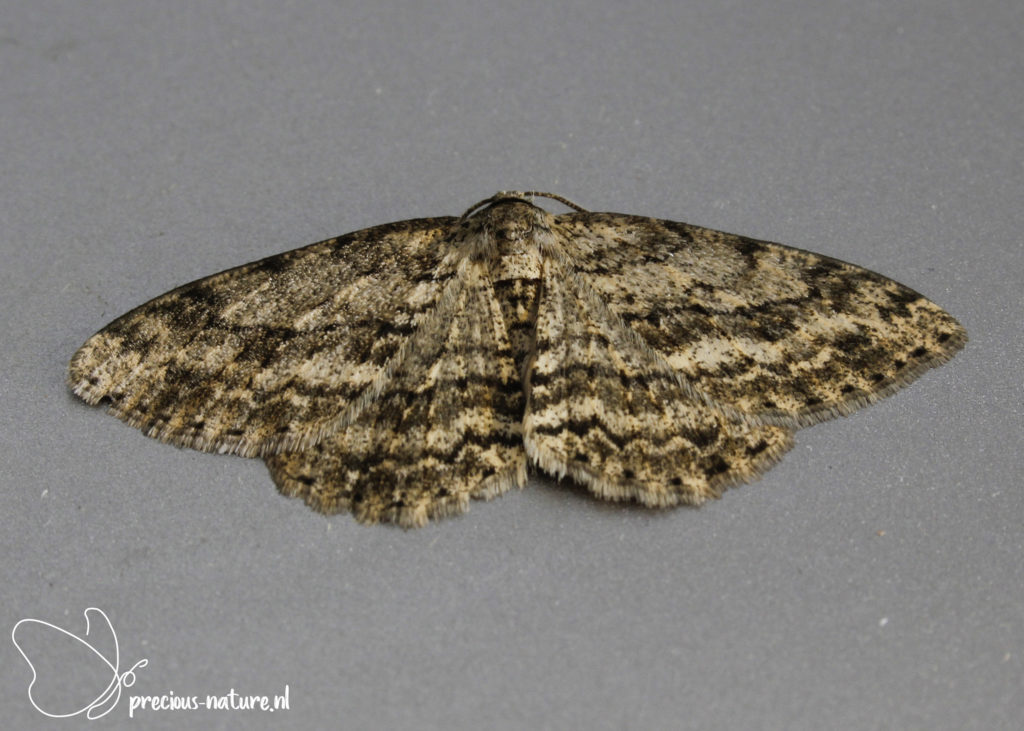 Small Engrailed - 2021
