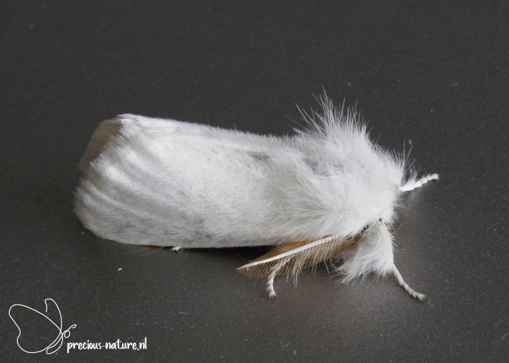 Brown-tail - 2021