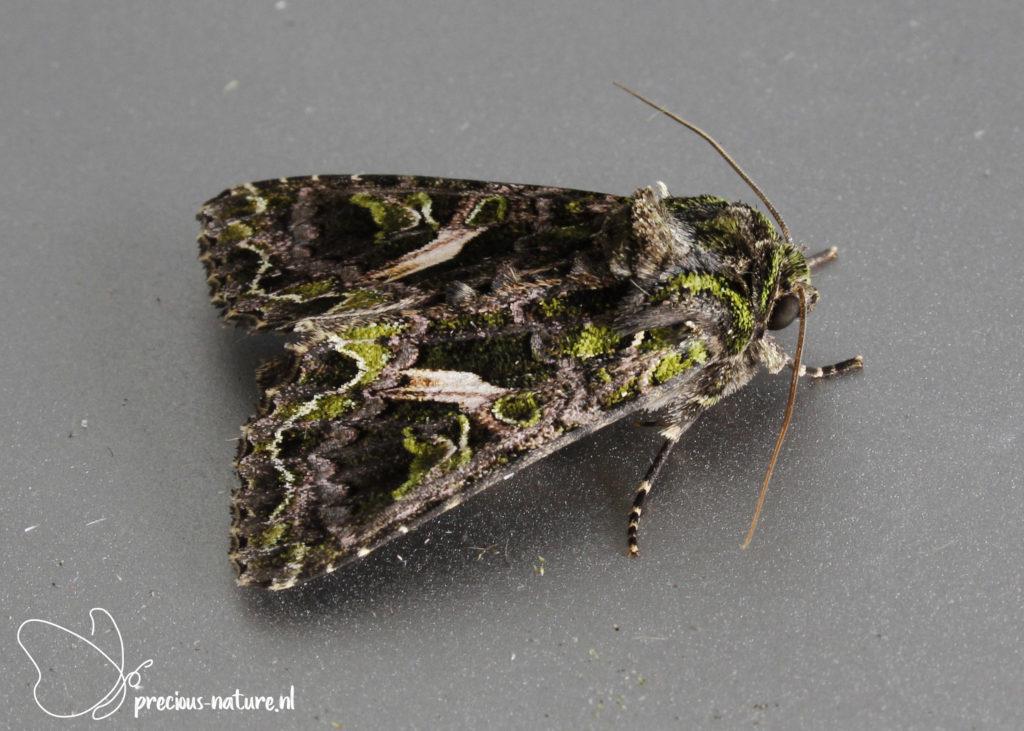 Orache Moth - 2021