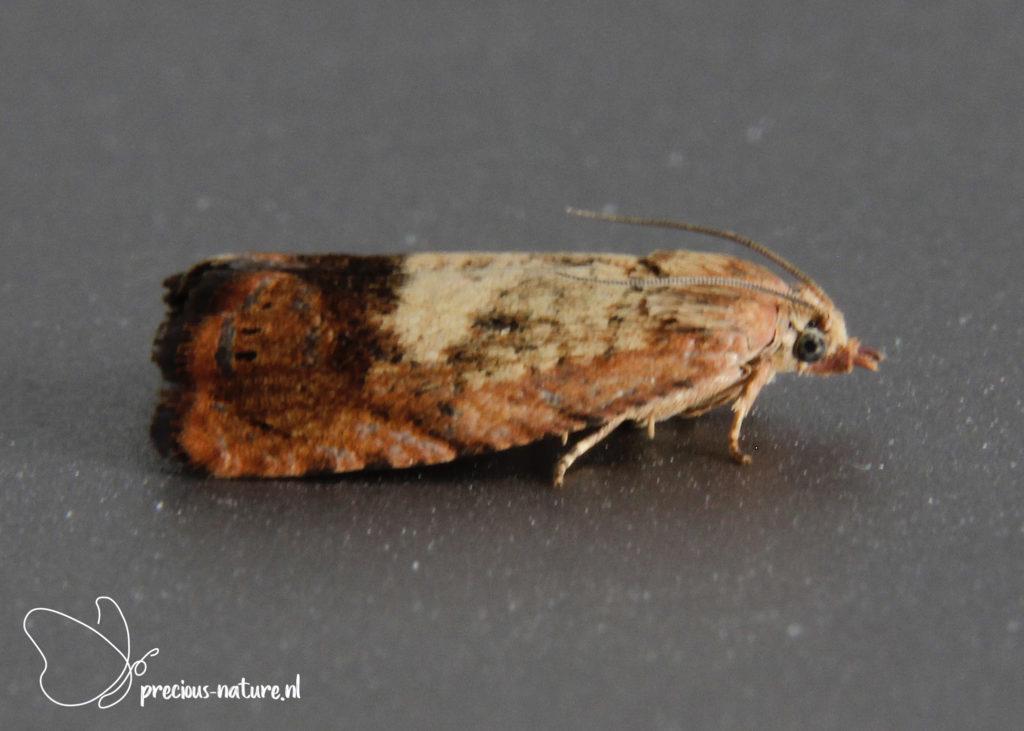 Rusty Oak Moth - 2021